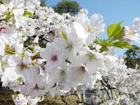 日本本州六天伊豆温泉美食超值赏樱之旅