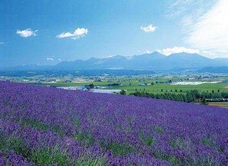 紫色浪漫*日本富良野花海、东京动画中心、富士急乐园本北七天家庭游