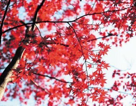 A1[绝色湘西•主题精品]岳麓枫叶•张家界•杨家界•袁家界•凤凰高铁四天团
