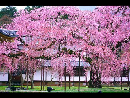 (深圳往返)樱之雪--日本本州伊豆温泉美食赏樱六日游