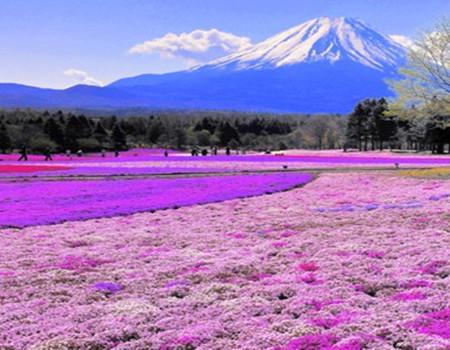 芝樱漫步---日本本州温泉美食赏樱六日游