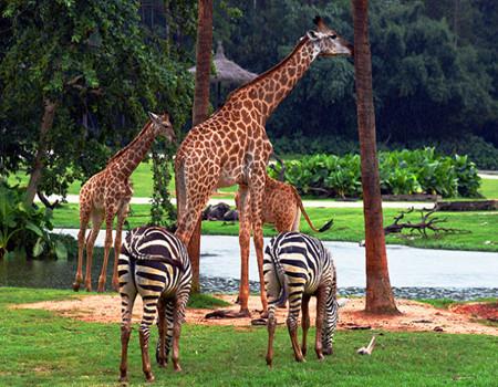 M:【欢乐+动物园】广州长隆欢乐世界、国际大马戏(自费)、长隆野生动物园两日游