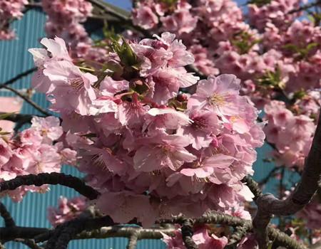 F;粉樱乱舞--日本本州米其林摘星6天之旅