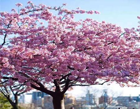 DY;日本本州经典赏樱6日游 (深圳往返)